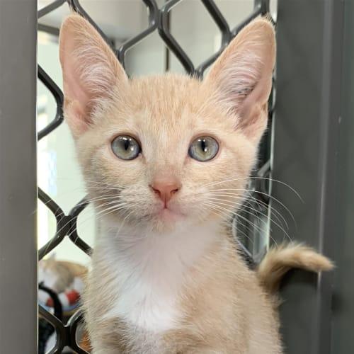 Palsa - Domestic Short Hair Cat