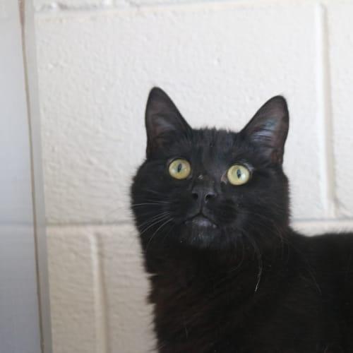 Gus 913449 - Domestic Short Hair Cat
