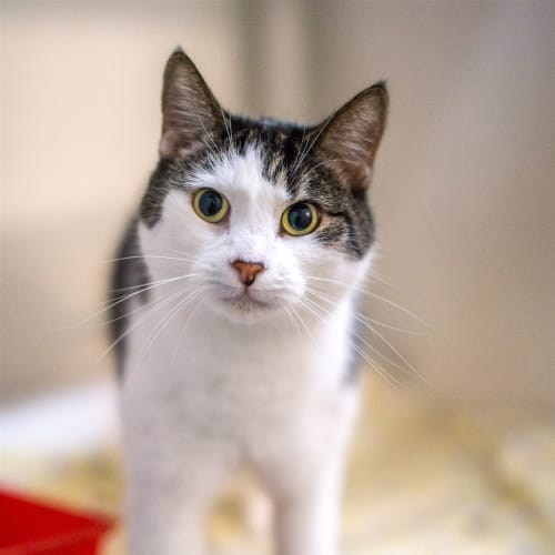 Abby - Domestic Short Hair Cat