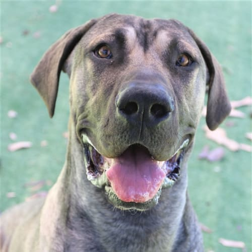 Burt - Great Dane Dog