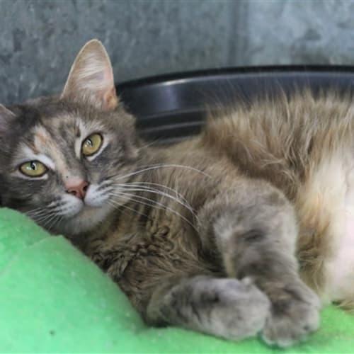Rita - Domestic Medium Hair Cat