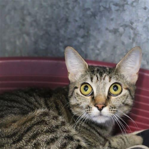 Francesca - Domestic Short Hair Cat