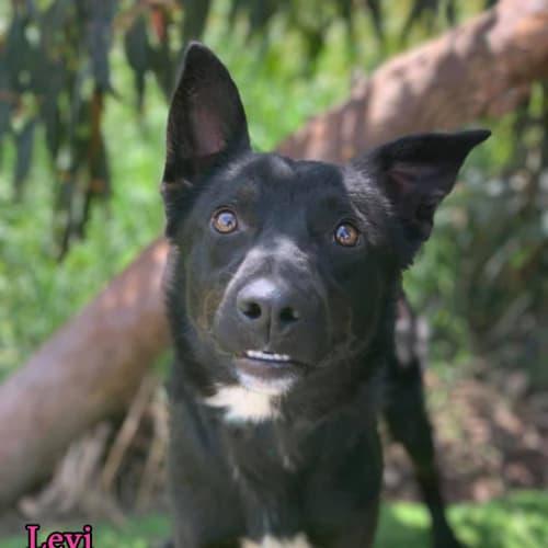 Levi - Kelpie Dog