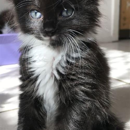 Tess - Domestic Long Hair Cat