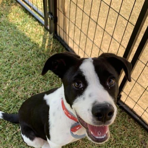 Sydney - Border Collie x Bull Arab Dog