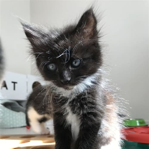Tia - Domestic Long Hair Cat