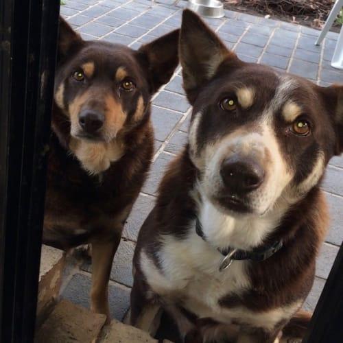 Bonnie and Louie - Kelpie Dog
