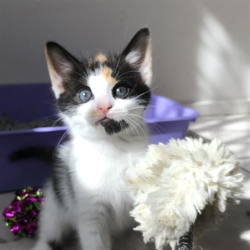 Tanna - Domestic Short Hair Cat