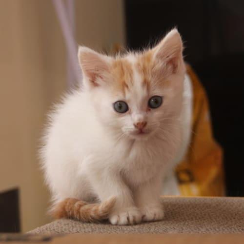 Albert - Domestic Medium Hair Cat