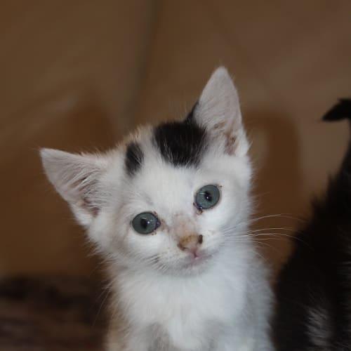 Roger - Domestic Medium Hair Cat