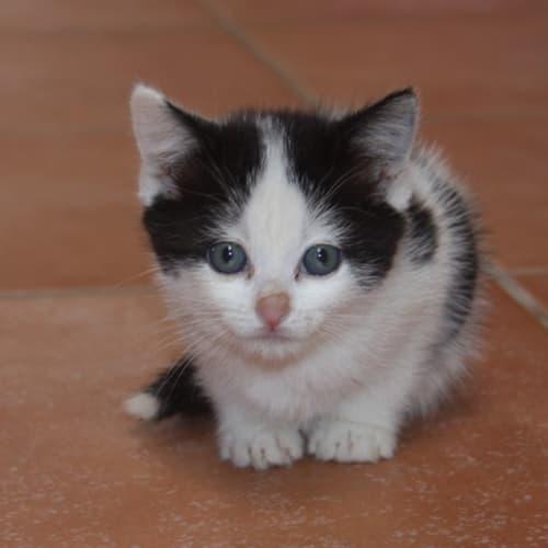 Delaney - Domestic Short Hair Cat