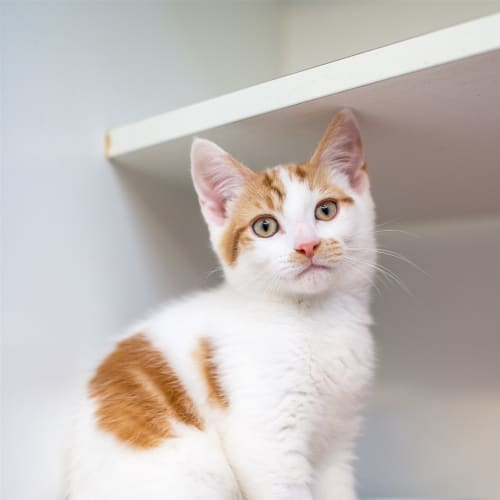 Dave - Domestic Short Hair Cat