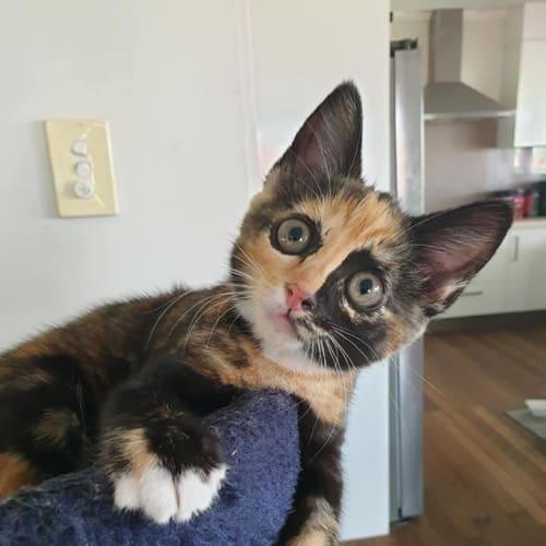 Charlee - Domestic Short Hair Cat