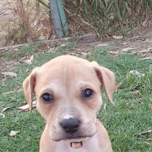 Fiona - Staffordshire Bull Terrier Dog