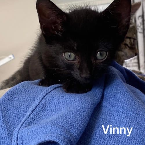 Vinny - Domestic Short Hair Cat