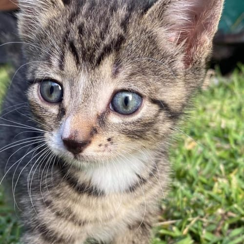 Viktor - Domestic Short Hair Cat