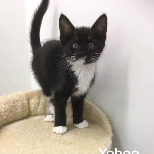 Yohoo - Domestic Short Hair Cat
