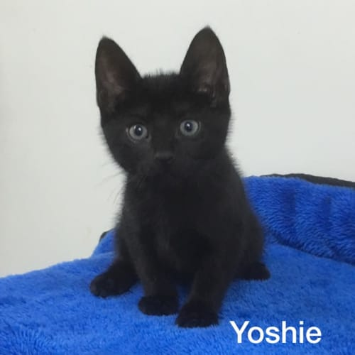 Yoshie - Domestic Short Hair Cat