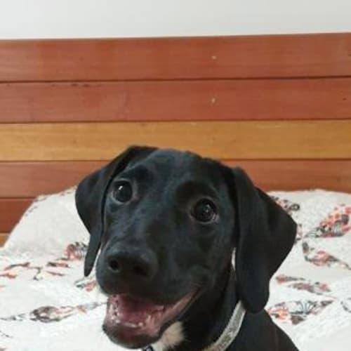 Lexi - Bullmastiff x Mixed Breed Dog