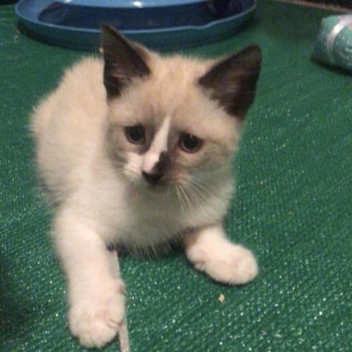 Archie - Domestic Medium Hair Cat