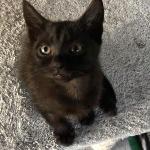 Toni - Domestic Medium Hair Cat
