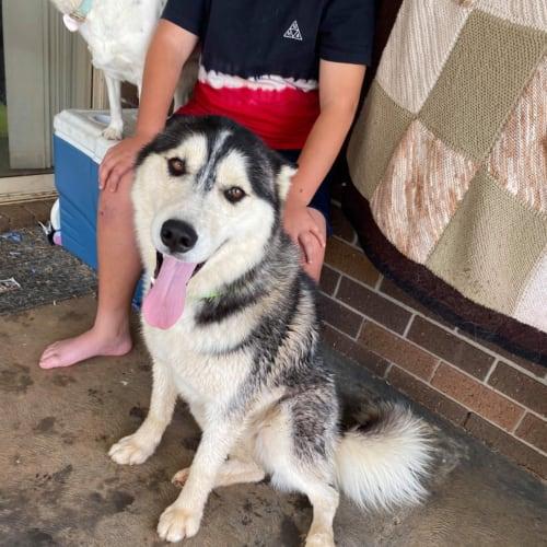 Loki - Siberian Husky Dog