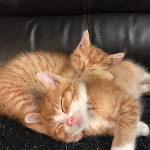 Steve and Dave - Domestic Short Hair Cat