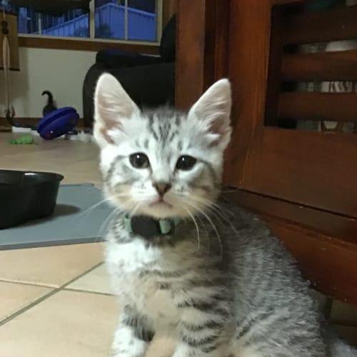 Aftan - Domestic Short Hair Cat