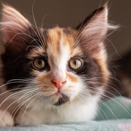 Missy - Domestic Medium Hair Cat