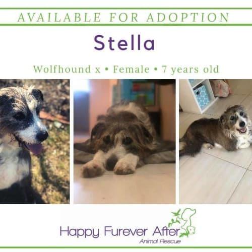 Stella - Irish Wolfhound x Border Collie Dog