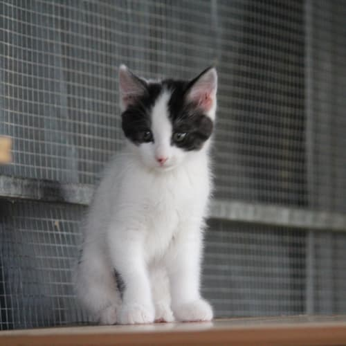 Shep (Shepard) - Domestic Medium Hair Cat