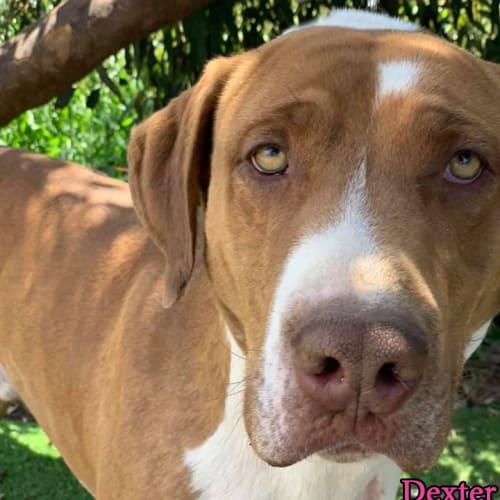 Dexter - Mastiff Dog