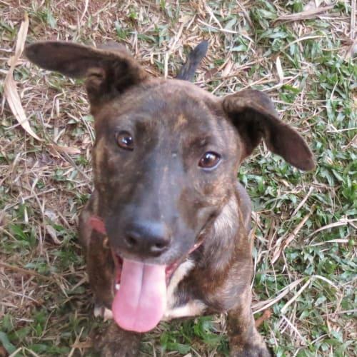 Millie - Staffy x Kelpie x Jack Russell Terrier Dog