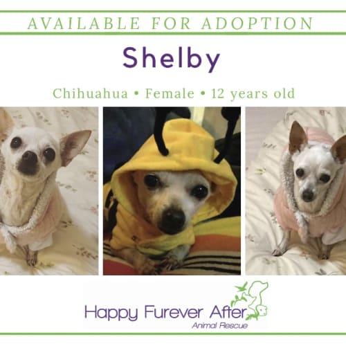 Shelby - Chihuahua Dog