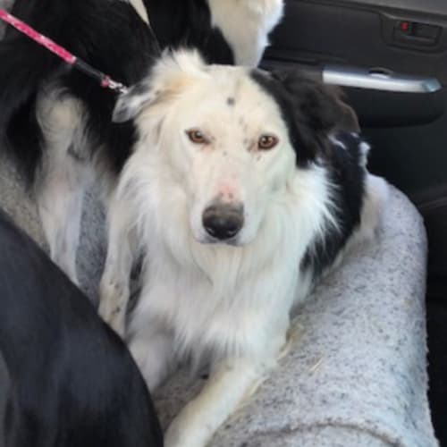 Burkley - Border Collie Dog