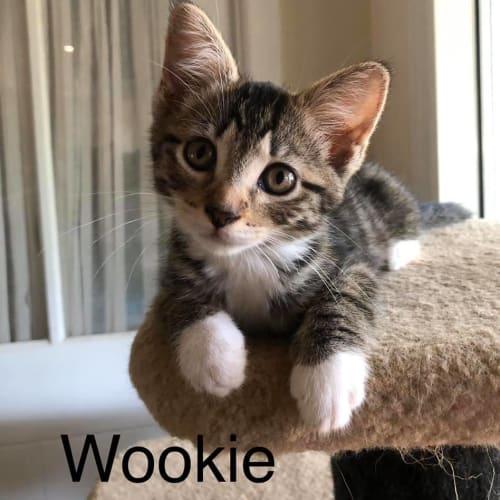 Wookie - Domestic Short Hair Cat