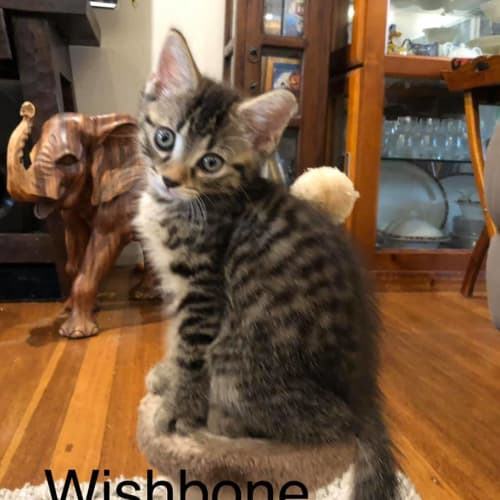 Wishbone - Domestic Short Hair Cat