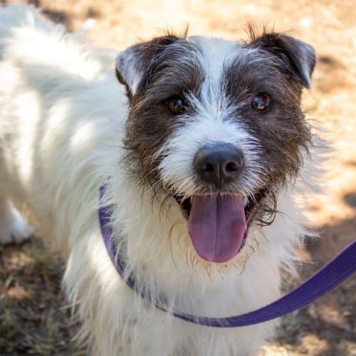 Trevor - Terrier Dog