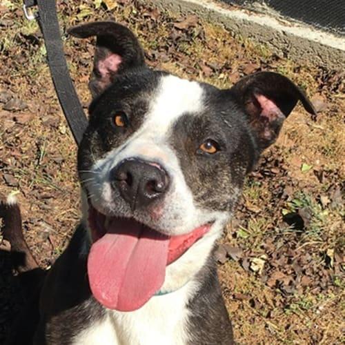 Jake - Staffordshire Bull Terrier Dog