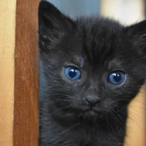 Lock - Domestic Short Hair Cat