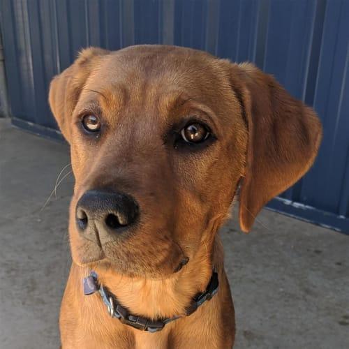 Sunni - Golden Retriever X x Cross Misc, Medium Dog