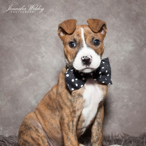 Chipotle (Chip)  - American Staffordshire Terrier Dog