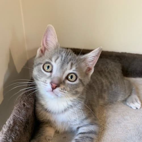 Saba - Domestic Short Hair Cat