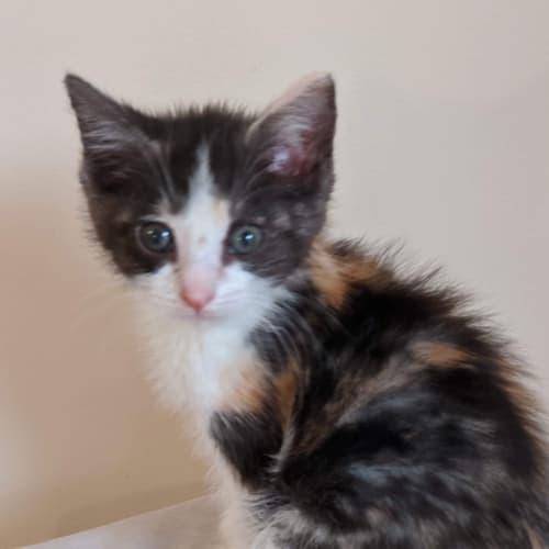 Calypso - Domestic Short Hair Cat
