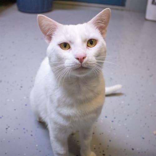 Hokey - Domestic Short Hair Cat