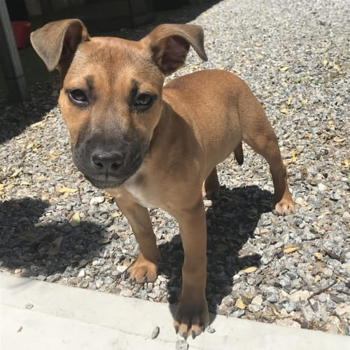 Poppet - American Staffordshire Terrier Dog