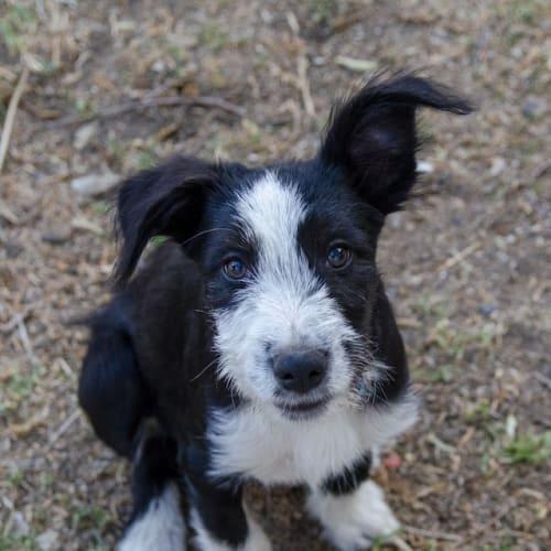 Toby - Border Collie x Smithfield Cattle Dog