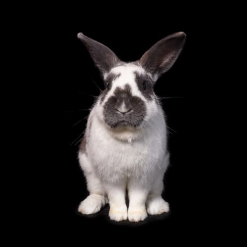Oreo - Rex Rabbit
