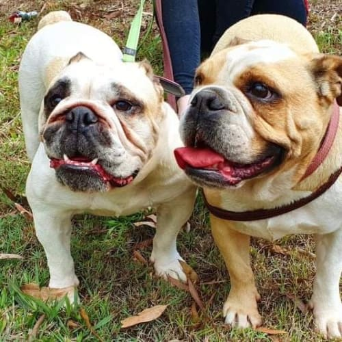 Winnie and Brooklyn - British Bulldog