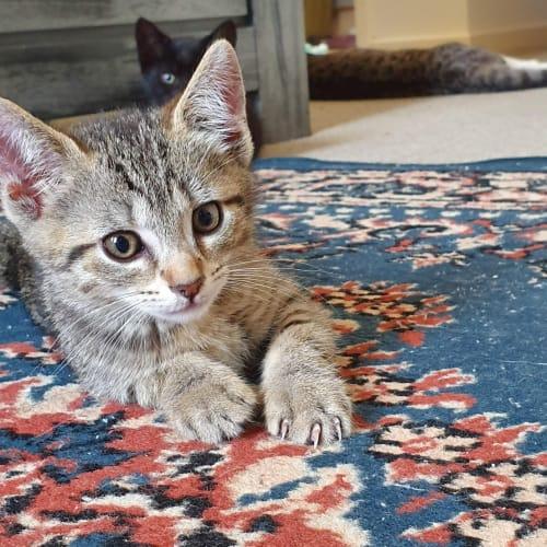 Woody - Domestic Short Hair Cat